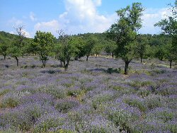 lavender plantations of the peninsula